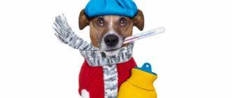 Стандартная температура тела собак варьируется от 37,5 до 39 градусов