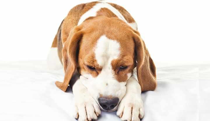 присутствует ли необычное поведение собаки (потеря аппетита, стоны и другое)