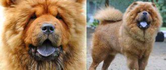 кантонская собака