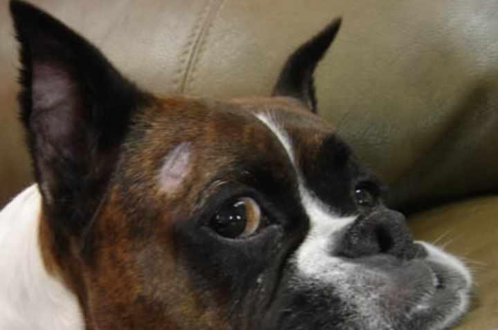 Симптомы трихофитии у собачек