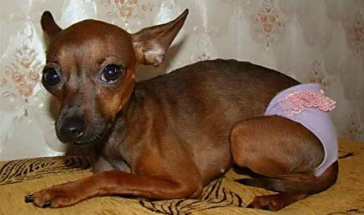 Эстреус у собак мелких пород