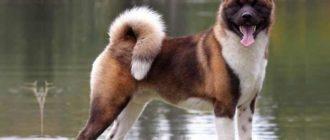 Американская акита, порода собак родом из Японии и США