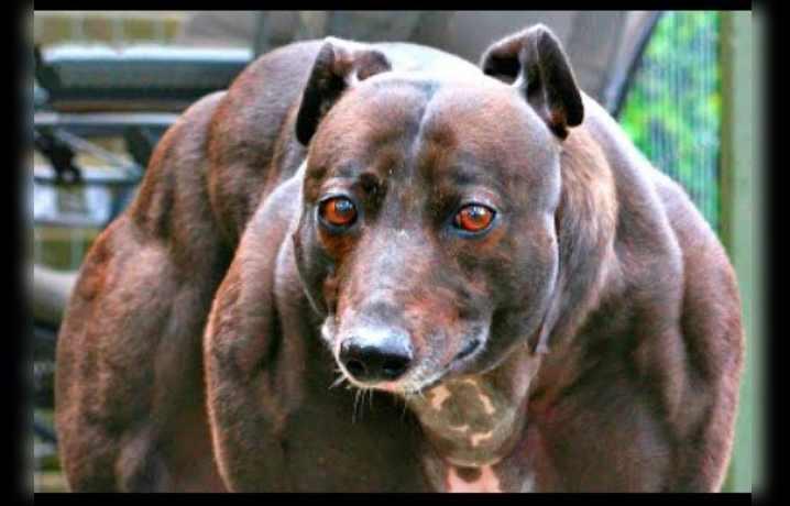 А самая накаченная собака в мире - породы уиппет