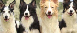 Бордер-колли - это порода собак, родом из Великобритании