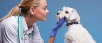 Микоплазмос у собак – одно из самых опасных заболевание