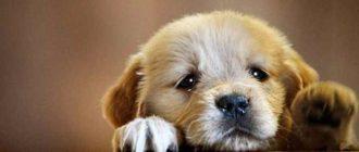 Что делать, если у щенка замечены понос и рвота?