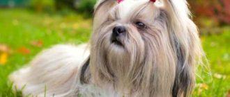 Ши-тцу - это небольшая порода собак