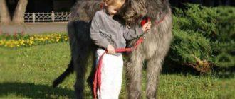 Это порода собак, выведенная в Ирландии
