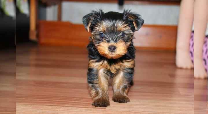 миниатюрная собака