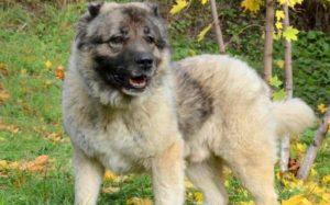 Кавказская овчарка, порода очень древняя и преданная своему хозяину