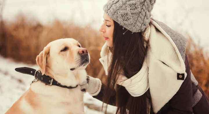 Среднего размера уши пса, посажены ближе к затылку и плотно прилегают к голове
