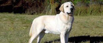 У собаки хорошие крепкие конечности, лапы правильной округлой формы