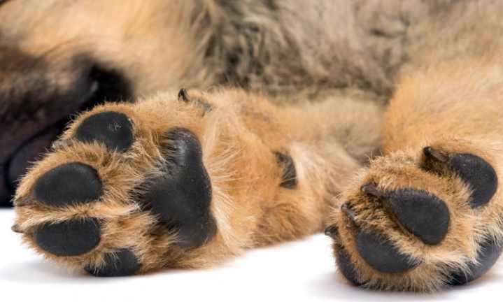 Особенности лап собаки каждой конкретной породы могут отличаться
