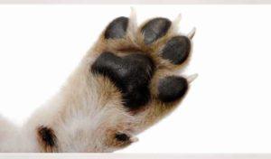 Собаки относятся к пальцеходящим животным