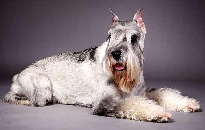 Привезли собаку из Голландии в 1977 году
