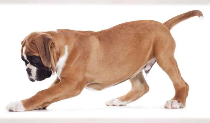 Большинство собак имеет по 4 пальца