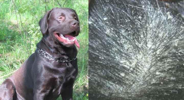 ᐉ Себорея - как лечить у собак