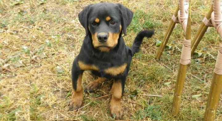 Генетическая (породная) предрасположенность щенка