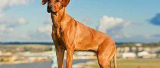 Данная порода собак считается родственником гончих