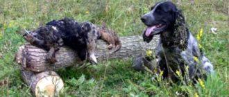 У собак этой породы острых нюх, они умеют плавать и даже нырять.