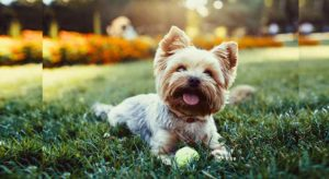 С какого возраста собака считается взрослой? Стадии и половое созревание +Видео