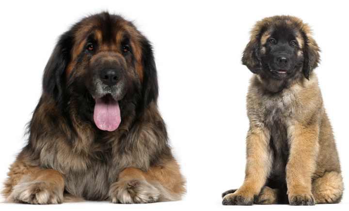 Собаки начали подходить к вымиранию чистокровных кровей