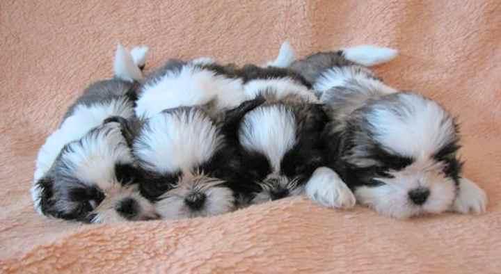 пятнистые собаки должны иметь белые отметки на лбу и белый кончик хвоста.