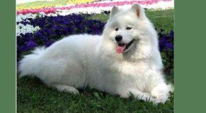 Эту собаку называют белоснежной мечтой. Игривые и дружелюбные самоеды – одни из самых желанных питомцев в мире.