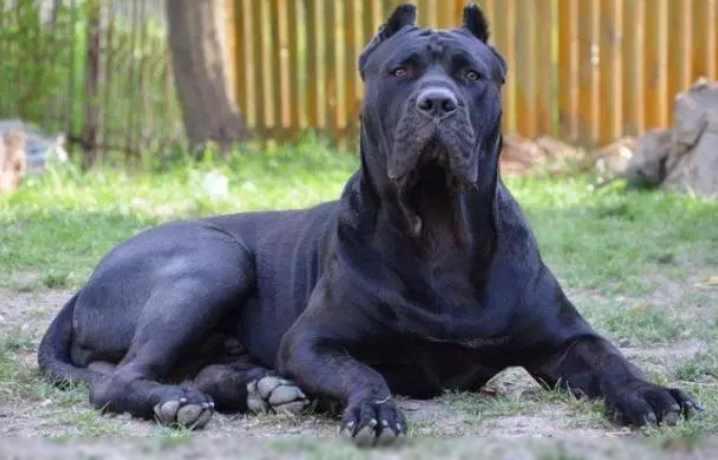 Эти собаки с гладкой шерстью очень выносливы