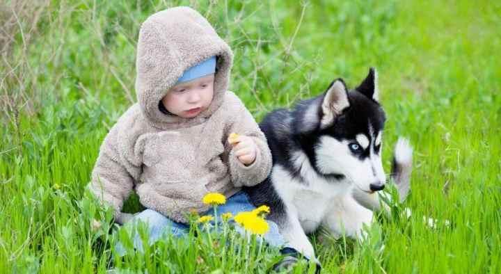 Эти своевольные северные собаки получили популярность