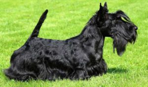 Небольшие по размеру собаки, немного специфической внешности