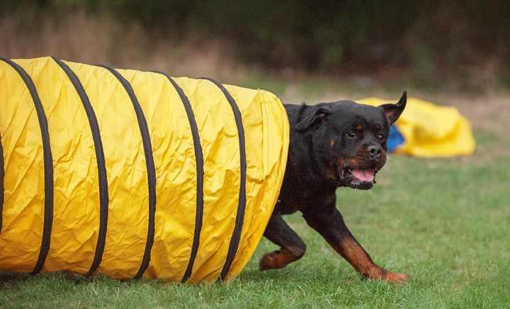 Полоса препятствий для питомца и других собак, которые соревнуются между собой