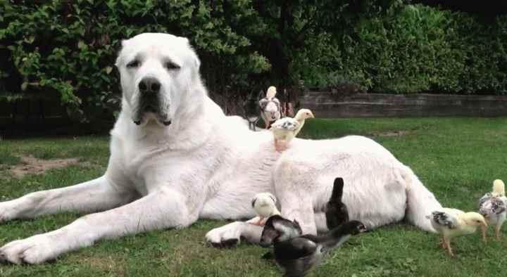 Вес. Взрослый кобель алабая весит от 50 до 80 кг, сука – от 40 до 65 кг.