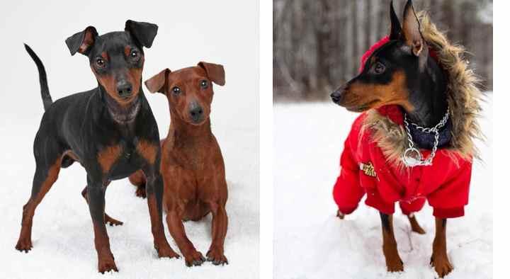 Вес. Колеблется от 4 до 6 кг у взрослой собаки. Зависит от пола и физического развития.