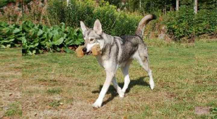 Это крупная собака, очень напоминающая волка