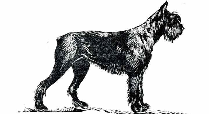 Вторая версия склоняется к тому, что предками современных ризенов были большие жесткошерстые пинчеры;