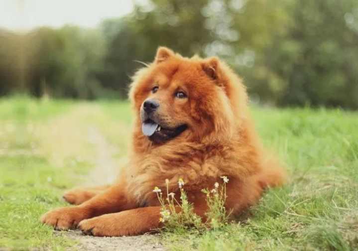 Эти собаки изначально возникли в Китае