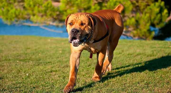 Собака достигает до 70 см роста и 90 кг веса