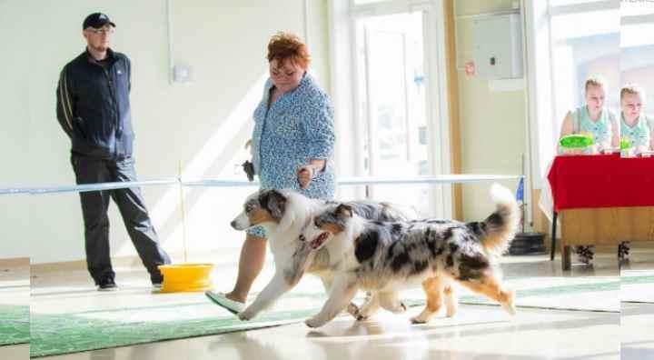 Аусси использовались как пастушьи собаки