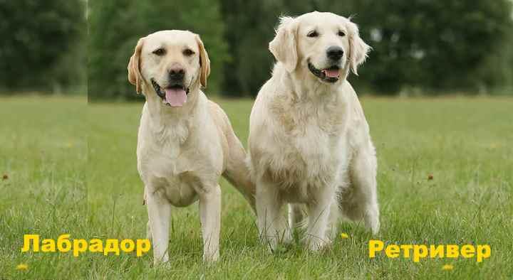 Хоть и выведены эти собаки в Великобритании, но места были разные.