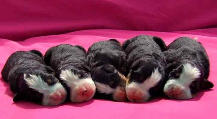 Рост собак варьирует от 58 до 70 см, в зависимости от пола.