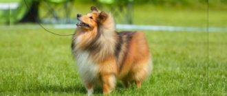 Собака, прекрасно подходящая в семьи с детьми и одиноким людям, чудесный компаньон и просто милашка- шелти.