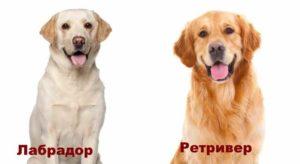 Обе эти породы относятся к собакам-компаньонам