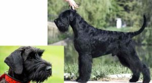 Согласно первой версии прародителями данной породы были жесткошерстные собаки, используемые во время охоты.