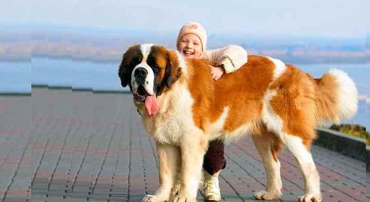 Средняя продолжительность жизни сенбернара стандартная для крупных пород собак – 9-11 лет.