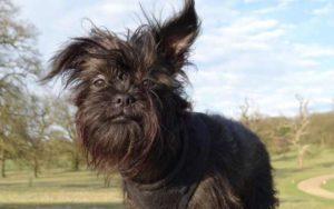 Существует порода собак, которые похожи мордочкой на обезьянок