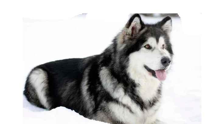 Собаки этой породы имеют достаточно высокий рост (взросла собака может достигать 64 см).