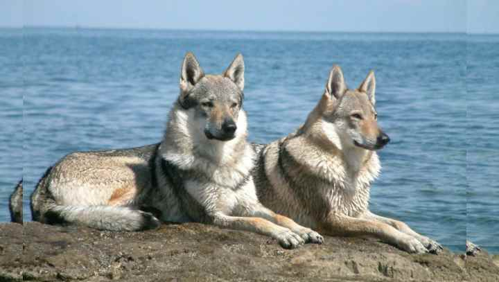 Чехословацкая собака очень схожа с волком, и тоже не умеет лаять.