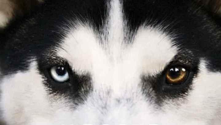Самой редкой и дорогой разновидностью хаски являются собаки с белой шерстью и голубыми глазами.