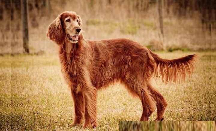Собака ирландский сеттер является очень красивой и изящной собакой